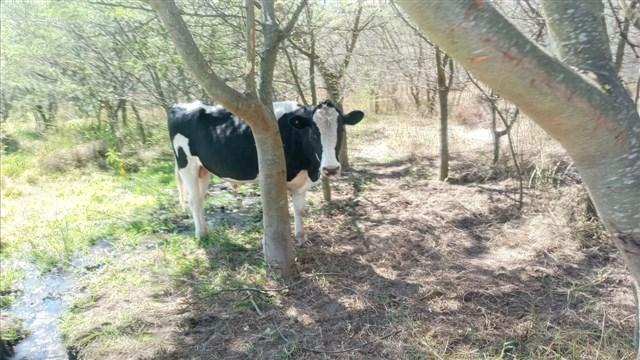 10. Vaca1